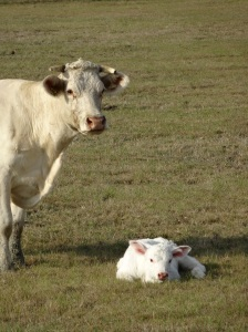 Do Charolais cattle give birth later in the season? Why do we see so many brand new ones?