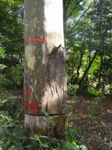 Condemned plane tree