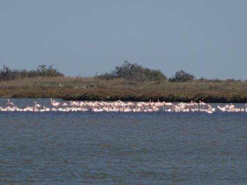 Flamingos in the distance across the salt marsh.