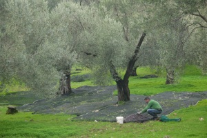 Collecting the olive harvest is still in full swing