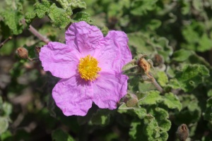 Wild Rose beside the road