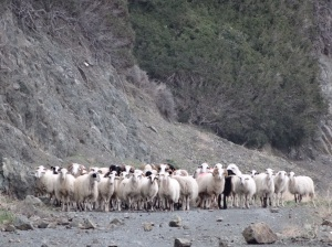 """Chasing sheep on the """"road"""""""